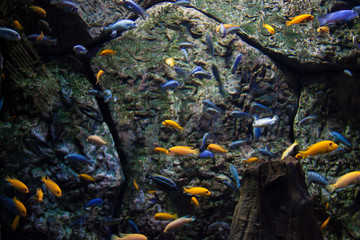 Colorful shoal of little fish. Underwater picture. Trapped animals concept. Blue and Yellow fish swimming inside an aquarium.