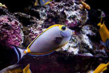 Beautiful colorful exotic fish swimming in front of a coral background. Fish closeup inside a big aquarium. Captive concept.
