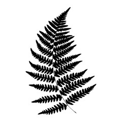 Silhouette of a fern. Isolated. Black on white background. Vector illustration.