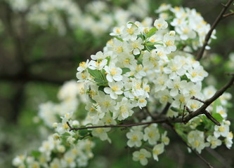 cherry-tree flower