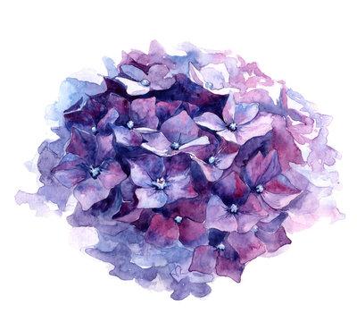 Watercolor illustration of purple hydrangea.