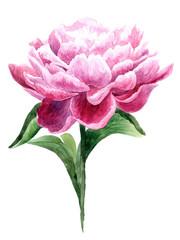 Watercolor pink peony.