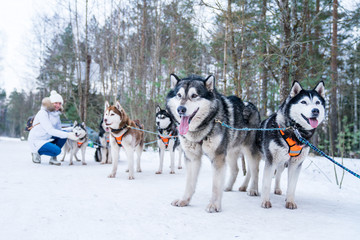 Young girl playing with husky dogs by the sledge in the winter forest.