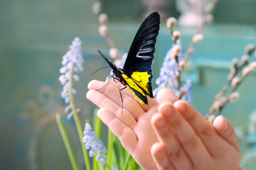 .Children's hands hold a beautiful butterfly in the sunlight