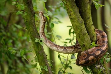 Ball python climbing on tree. Royal python. Strong snake.