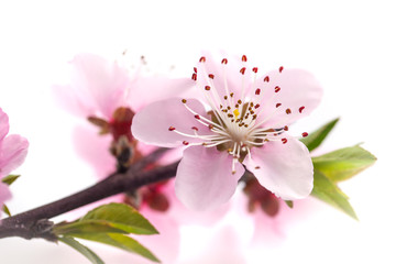 Peach blossom isolated on white background.