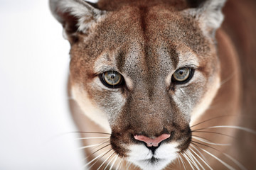 Deurstickers Puma Beautiful Portrait of a Canadian Cougar. mountain lion, puma, panther, Winter scene in the woods. wildlife America