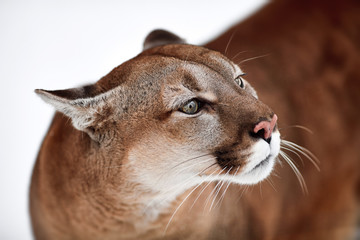 Printed kitchen splashbacks Puma Beautiful Portrait of a Canadian Cougar. mountain lion, puma, panther, Winter scene in the woods. wildlife America