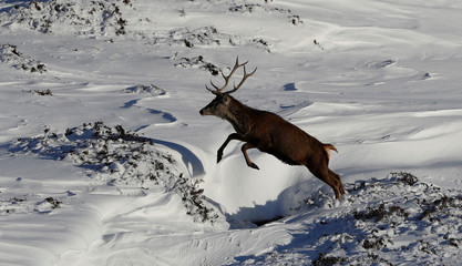 A red deer stag leaps in the snow in Glenshee, Scotland