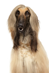 Close-up of Afghan hound