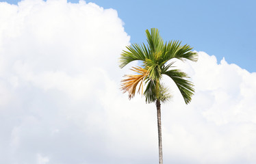 Betel palm with clouds on the sky in summer background bright and freshness in nature background
