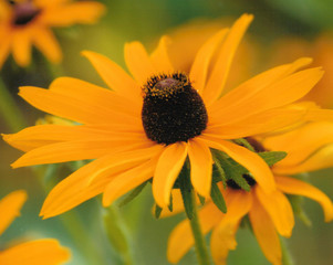 Blacked Eyed Susan