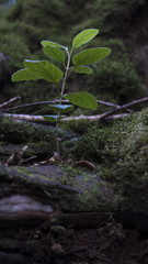 Close-up to ground level of a small plant growing through the rocky soil, at Rural Park of Anaga, a tropical laurel forest known for its biodiversity and preservation, Tenerife,  Canary Islands, Spain