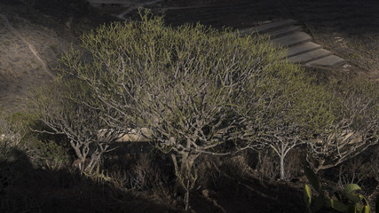 Selective light over a Sweet Tabaiba shrub, scientifically known as Euphorbia balsamifera, endemic to the Canary islands, growing freely in the driest parts of the island of Tenerife, Spain