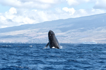 Humpback whale beginning a breach in the waters of Lahaina on Maui.