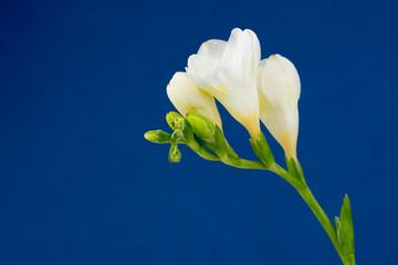 Search photos freesia flower white freesia flower on blue background mightylinksfo