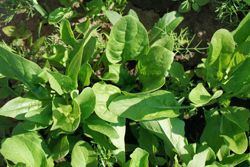 spinach green Leaves. Organic food. Carved leaves