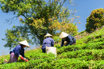 Workers in traditional hats picking fresh tea leaves