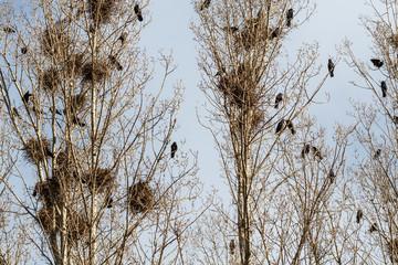Colonia de grajas anidando. Corvus frugilegus. Grajos.