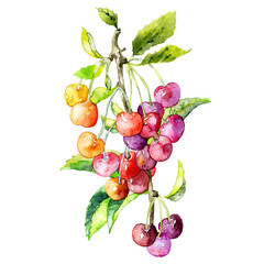 Ripe, red, tasty, healthy, wild, wild cherry. Garden, seasonal plant. Watercolor. Illustration