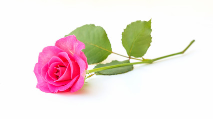 Pink rose on a white background.