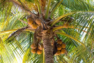 Kokosnusspalme in Costa Rica