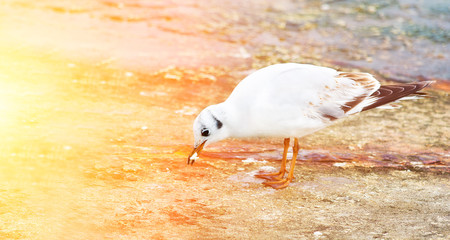 White seagull with yellow beak sitting on the pier and eat food. Sea bird. Blurred background. Space for text. Beautiful nature.