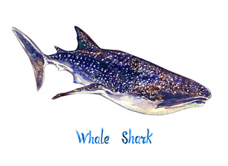 Whale shark, isolated on white background hand painted watercolor illustration with handwritten inscription