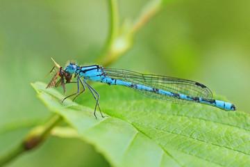 libellule insecte
