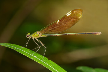 Image of Oriental Green-Wing Dragonfly(Female),Neurobasis chinensis chinensis on green leaves. Insect Animal.