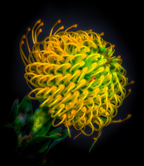 Fine art still life colorful floral macro portrait of a single isolated protea blossom in vivid glowing neon colors in surrealistic painting style