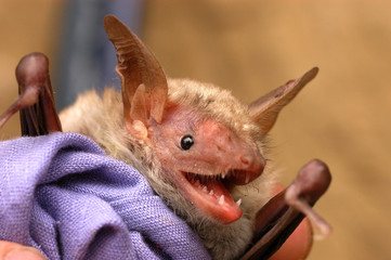 Bat with long ears