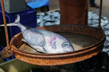 Silvery tuna on the scales. A street fish market on the shore of the ocean.