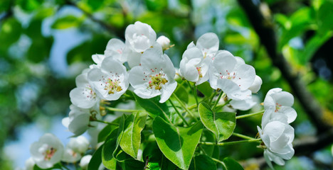 Flowering branch of pear blooming spring garden. Flowers pears close-up. Wide photo.