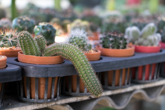Offer cactus in gardening. Rows of small cacti in pots. The cactus in the pot grows down.