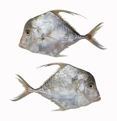 Fresh Cobbler Fishes or Diamond trevallies fish isolated on white background.