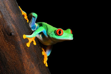 red-eye tree frog  Agalychnis callidryas