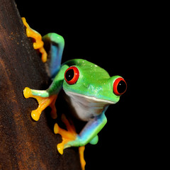 Wall Mural - red-eye tree frog  Agalychnis callidryas