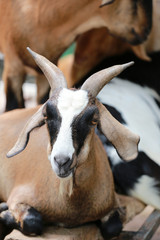 Focus of face goats.