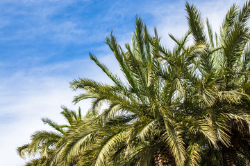 Beautiful green palms in front of blue sky