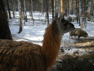 лама и баран на прогулке в зоопарке