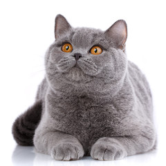 Purebred cat.. Well-groomed kitten. Pet, comfort, love and serenity concept. Gray cat - british straight