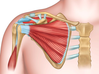 Shoulder bones and muscles