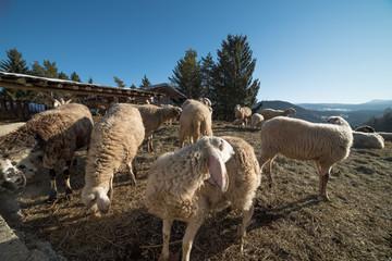 agnelli capre e pecore