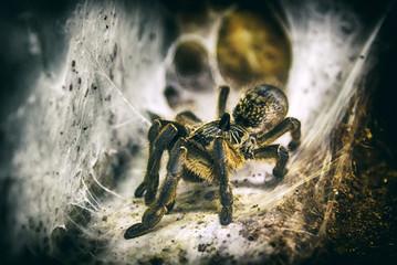 Spider Tarantula sitting on web