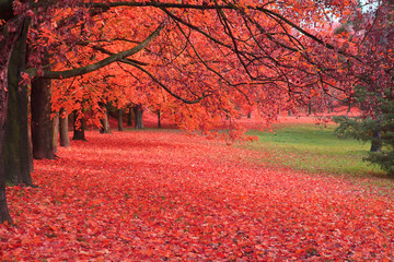 Wall Murals Red autumn tree in the park