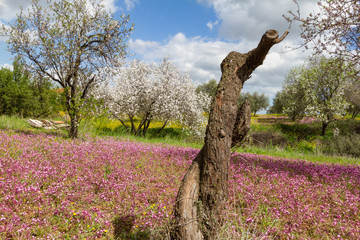 Cut almond tree in a field with purple flowers in spring in Cyprus