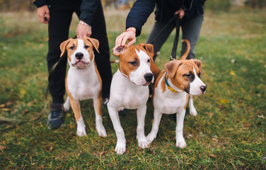 Three puppies of the American Staffordshire terrier are white and brown color from one brood.