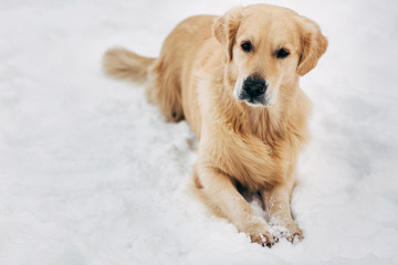 Photo of golden retriever sitting on snow at winter walk
