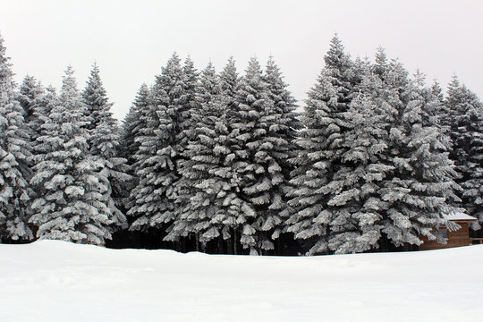Snowy Pine Trees Mountain Winter Treeline Grey Weather 20 Inches of Snow Fall Background